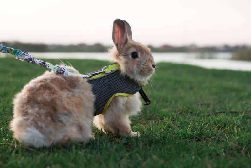 Factors to Consider When Purchasing the Best Rabbit Harnesses